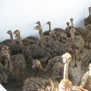 Wholesale Ostrich birds, Chicks/eggs/shama birds