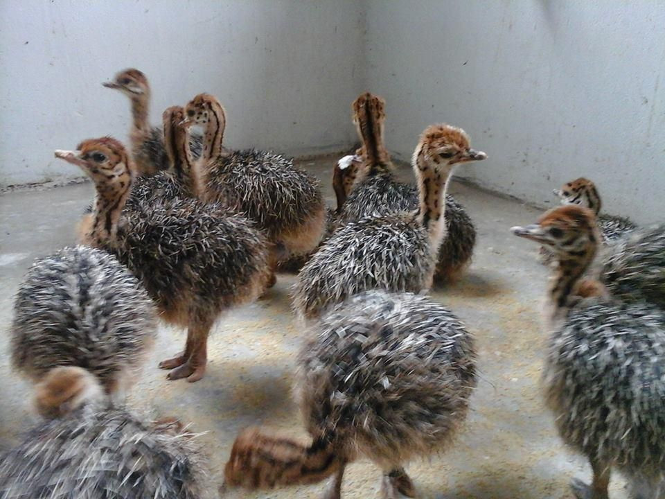Fertile Ostrich Eggs and Ostrich  Chicks for Sale