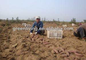 2012 new crop fresh sweet potatoe