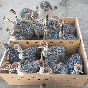 VACCINATED OSTRICH CHICKS AND EGGS