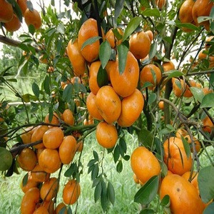 Fresh Oranges/fresh fruit /fresh oranges sweet orange