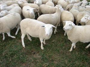 Boer Goats, Live Sheep, Cattle