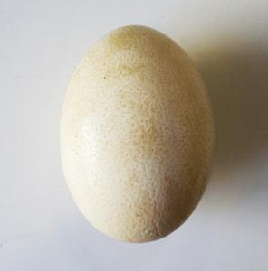 High quality Ostrich egg