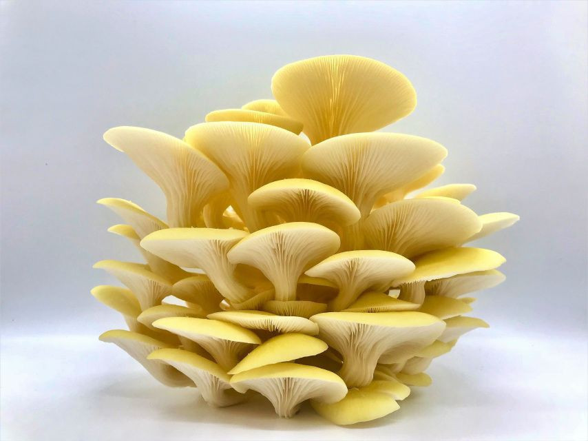 Sets of yellow oyster mushrooms rearing at home.