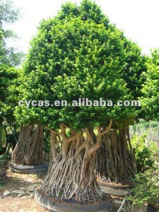 Ficus Trees,Ficus Bonsai