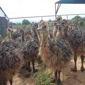 Buy Ostrich Chicks cheap