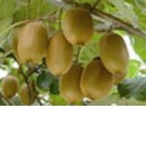 Fresh Kiwi Fruit from South Africa