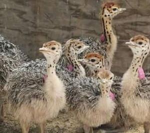 OSTRICH CHICKS,Vaccinated Ostrich Chicks,Fertilized Ostrich Eggs