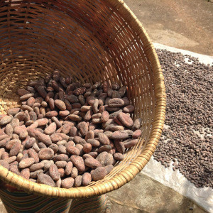 Raw cocao Beans