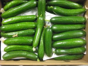 New Crop fresh cucumber / fresh green cucumber price