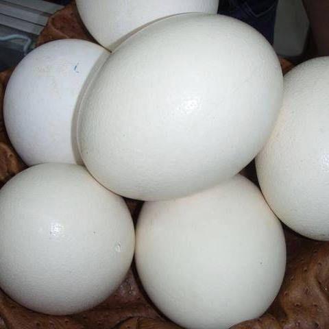 Fertile Congo African Grey Eggs