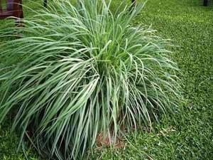 100% lemongrass fragrance oil