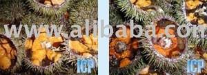 Iceland Wild Sea Urchin