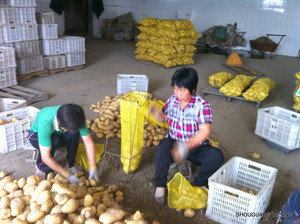 2019  fresh chinese yellow potato all size (S M L 2L ) from owned farm supplying all the year round to the world