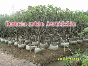 For outdoor landscaping ornamental bonsai plants