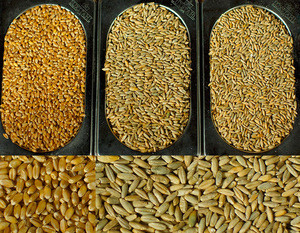Organic FEED RYE from Ukraine