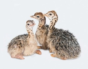 Well Fed Live healthy Ostrich/ Ostrich Chicks for sale