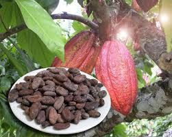 Dried Organic Cocoa Bean