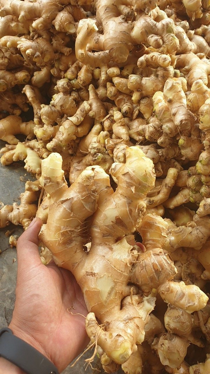 Supplying fresh ginger/frozen ginger/dry ginger
