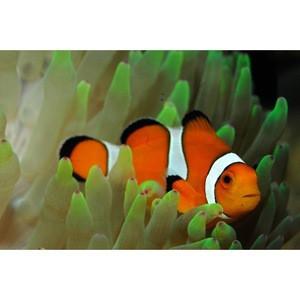 Live Marine Aquarium Clown Fish