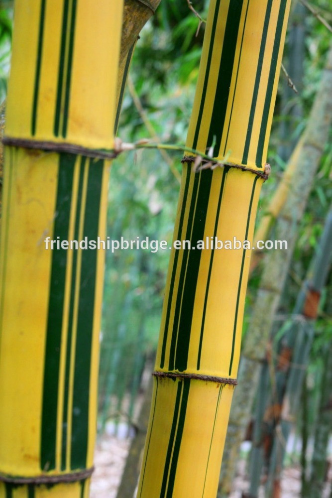 Yellow groove bamboo seedling