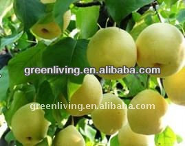 2013 top quality fresh golden pear (from china)