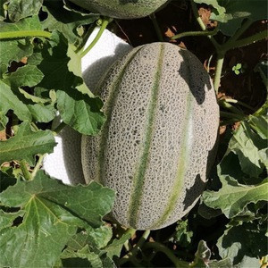Best Quality Hybrid F1 Heat Resistant Sweet Melon Seeds For Planting Green Pearl
