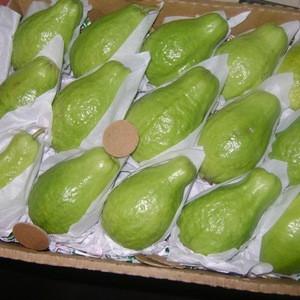 Fresh Guava Juicy Raw Quality Guava Fruit