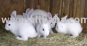 Rabbits for raising and rabbit meat