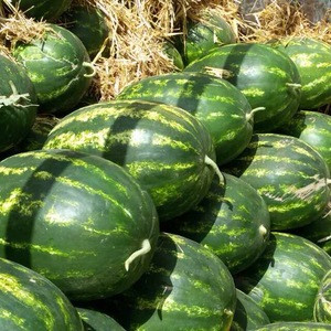 Fresh Juicy Watermelons Best Quality Watermelons