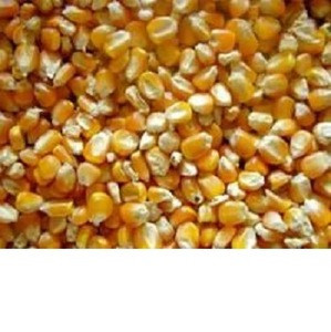 Yellow Corn & White Corn/Maize for Human & Animal Feed FOR SALE