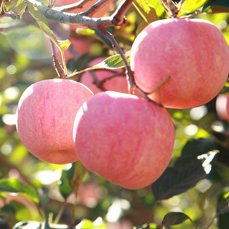 Fresh fruit Apple