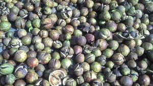 Free Sample Tea Seed Extract Tea Saponin90%-98% Light Yellow powder