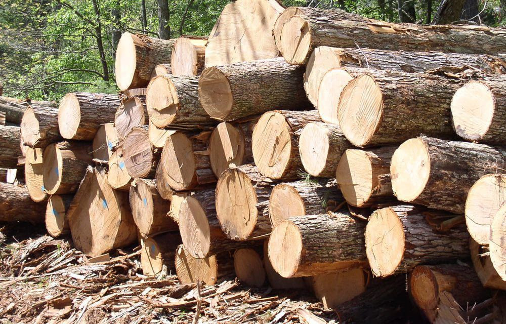 Best price Pine Wood Log With High Quality from Vietnam Cheap Price Timber Sawn