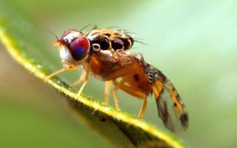 Mediterranean Fruit Fly Pheromone Trap