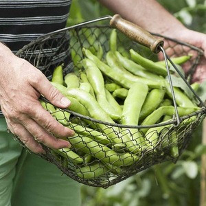 High Quality Dry Broad Beans from Ukraine