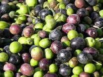 Best and Good Quality fresh Olives Available