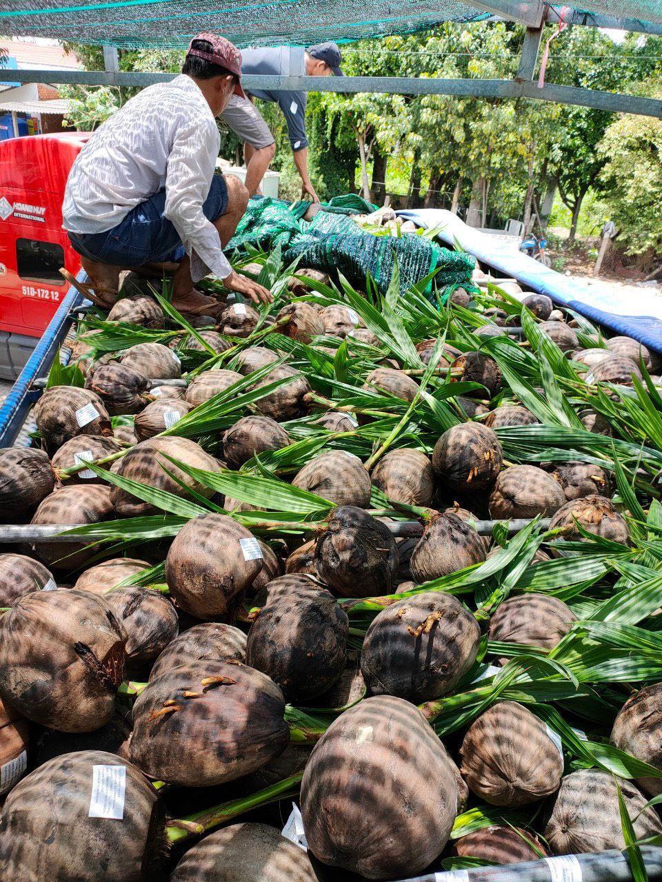 COCONUT SEEDLING TREE, COCONUT PALM TREE SEEDLING 2020