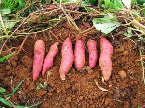Japanese sweet potato / Japanese batata/ Yellow sweet potato