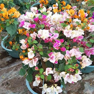 Bonsai Product  Natural Plants Product Type and Outdoor Plants Use bougainvillea