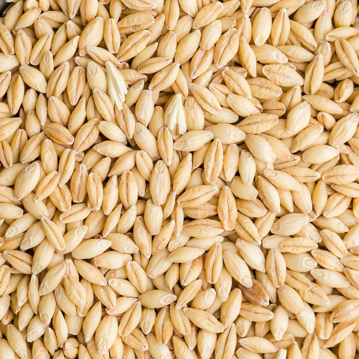 Barley - feed and food grade