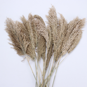 Wholesale Phragmites natural dried decorative Pampas Grass preserved flower dried flowers