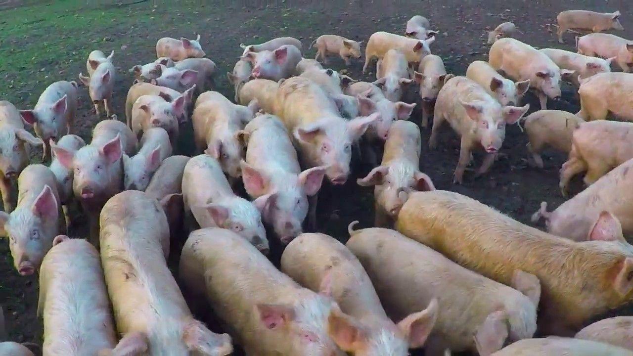Live Pigs & Piggery