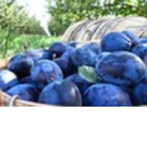 Fresh Plum Fruits from South Africa