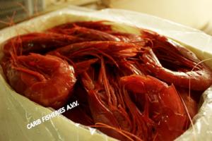 Scarlet Shrimps( Carabineros/ Plesiopenaeus edwardsianus)
