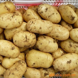 Potato in high quality for exoprt