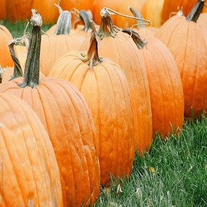 Pure and Natural Wholesale Pumpkin/Fresh Pumpkin