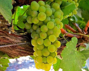 Sweet Delicious South Africa fresh grapes