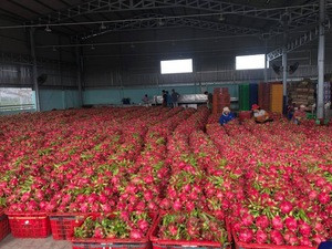 Fresh Dragon Fruit from Vietnam with competitive price