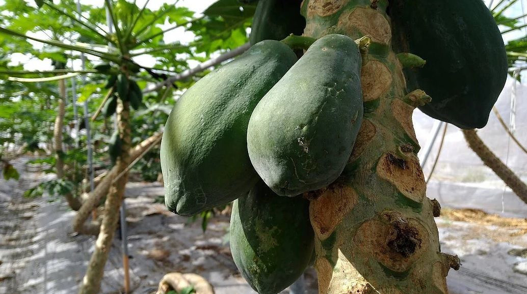 SHINANTW TAIWAN Fresh Papaya (plan in net grow room)